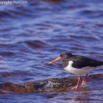 Oystercatcher before take off