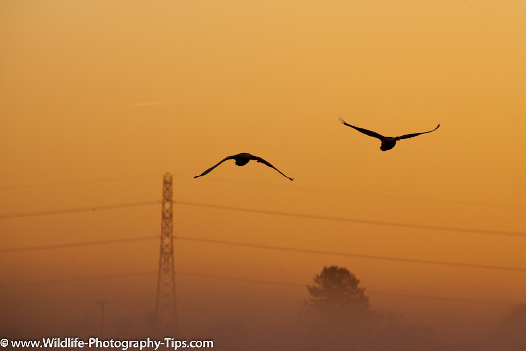 animal-photography-swans-silhouette