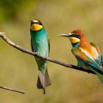Pair of Bee Eaters