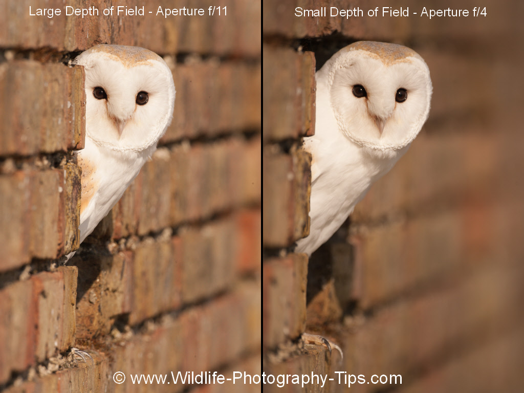 beginners-photography-depth-of-field-barn-owl
