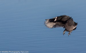 A coot slowing down its flight to land