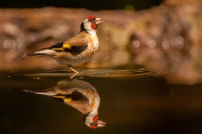 Gold finch in a backyard pond
