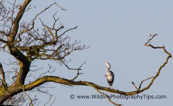 gray-heron-uncluttered-background