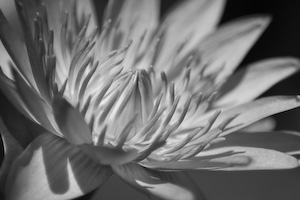 In The Second Photograph Colors Have Been Adjusted So That Petals Are Dark And Centre Of Flower Head Is Bright