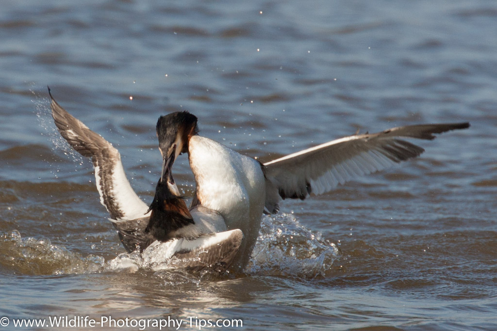 Great Crested Grebe territorial dispute