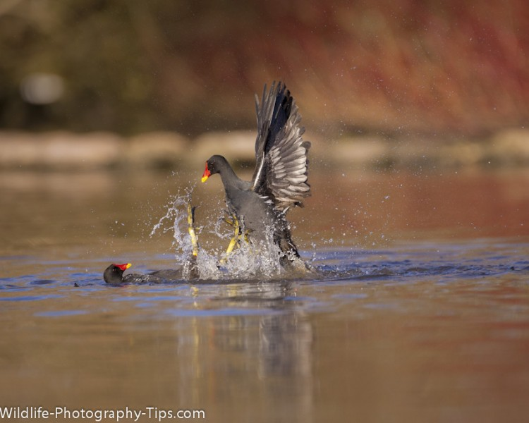 moorhen-fight-0275