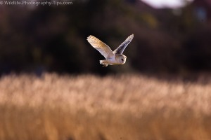 Barn owl in the middle of the frame as we used the center focus point