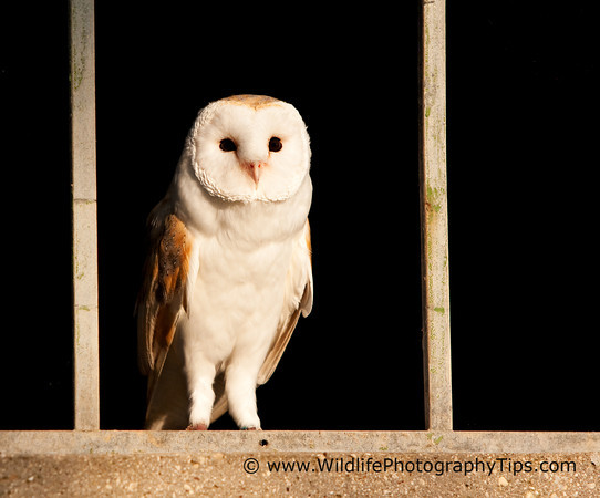 photographing-birds-barn-owl-without-catchlight