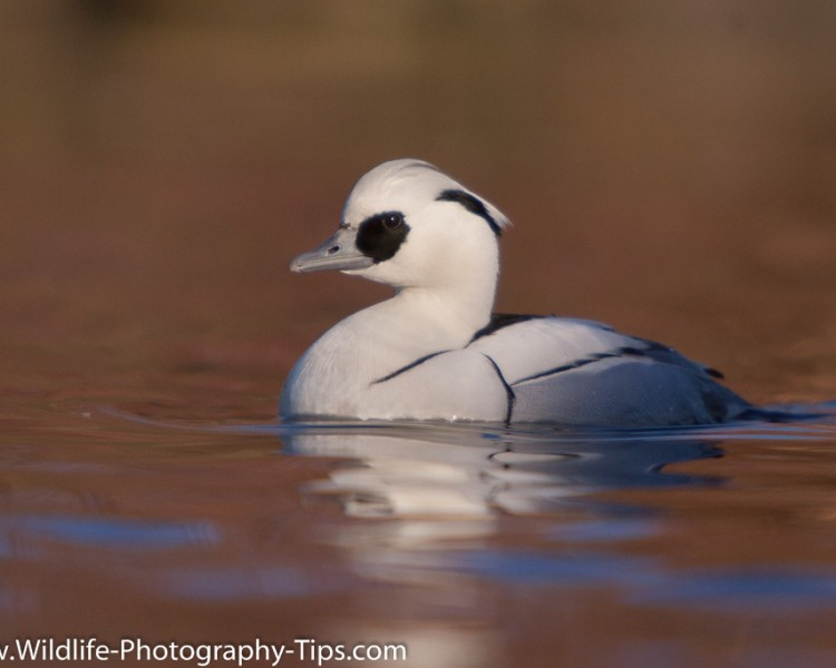 smew-catchlight